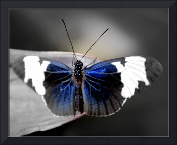 Blue Tinted Butterfly