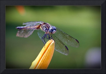 Dragon Fly V