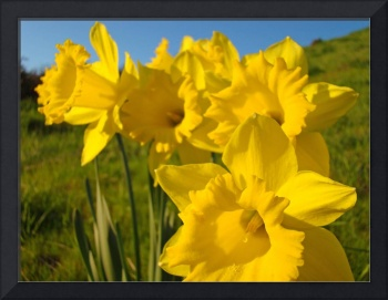 Golden Yellow Daffodil Flowers art prints Spring
