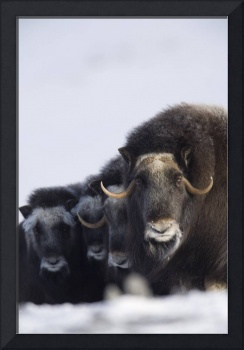 Musk ox cows  calves in a defensive lineup during