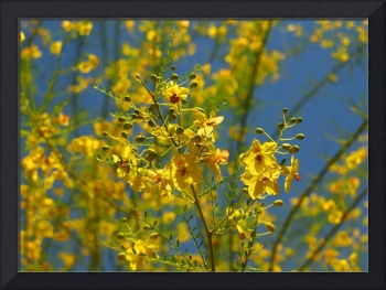 Palo Verde Tree With Yellow & Red Blossoms