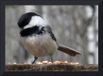 Black Capped Chickadee Finding Seeds