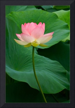 Long Stem Lotus Beauty