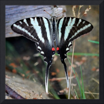 Zebra Swallowtail Butterfly Resting Square