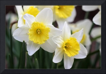 Trumpets of Spring