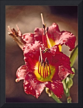 Daylily 'Dragons Eve'