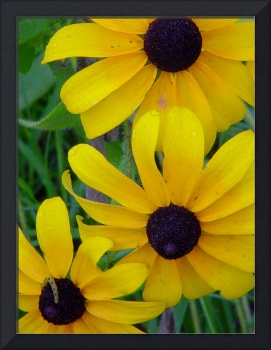 Black-eyed Susans with Inchworm