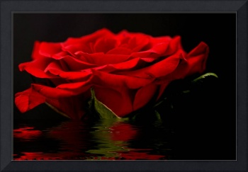 Red Rose Flood