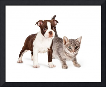 Adorable Boston Terrier Puupy And Kitten Together