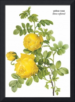 Yellow Rose (Rosa Sulfurea) Botanical Art