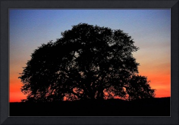 California Oak Sunset