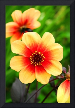 The Yellow and red Dahlia Flower