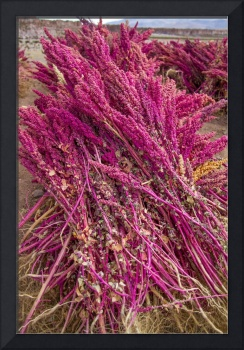 Quinoa that has been picked