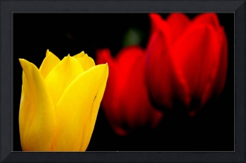 Yellow and Red Tulips