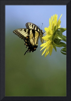 3V1142 Tiger Swallowtail on Compass Plant Flower