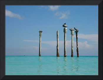 Peaceful Pelicans Aruba