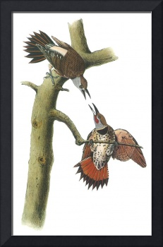 Northern Flicker Bird Audubon Print