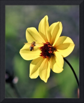 Yellow Flower with Bee in Captured Flight