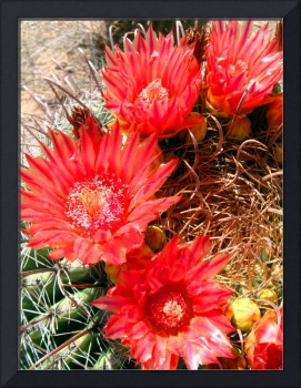 Red Barrel Cactus Flowers 1