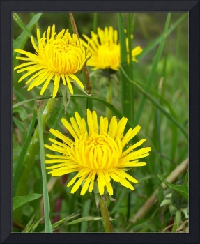 Dandelion's on Mount Mitchell