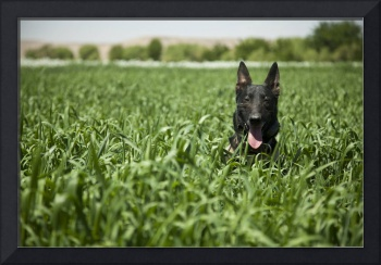 German Shepherd in The Fields