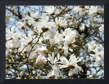 WHITE Magnolia Flower Tree Spring Flowers Art