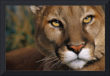 Mountain Cougar Eyes