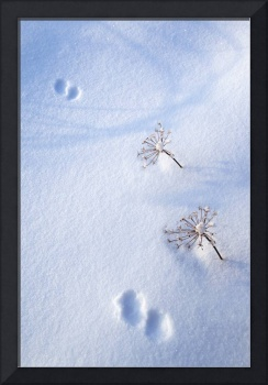 Animal Footprints In Fresh Snowfall Hyder, Alaska