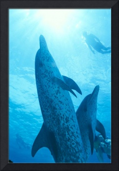 Caribbean, Bahamas, Spotted Dolphins