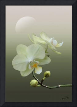White Orchid at Dawn