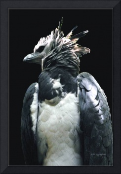 Harpy Eagle on Black