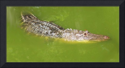 Alligator and Dragonfly in Green Water