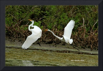 Dance of the Egrets - 3
