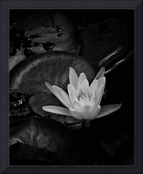One More Water Lily