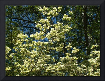 Nature Dogwood Tree Art Prints White Dogwood Flowe