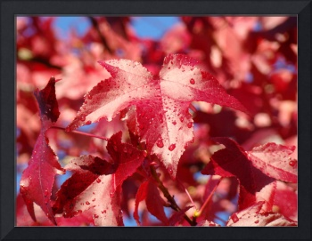 Dew Drops Red Autumn Leaves Fall Trees art prints