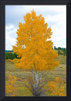 Colorado Aspens Study 32