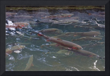 Trout Lake Rainbow Trout Art Prints Dads