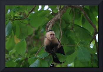 White Faced Monkey in Costa Rica Forest