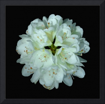 White Rhododendron Blossom #2
