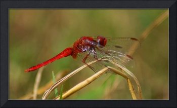 African Red Dragonfly