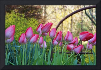 Pink White Tulips Flowers Garden Art Prints