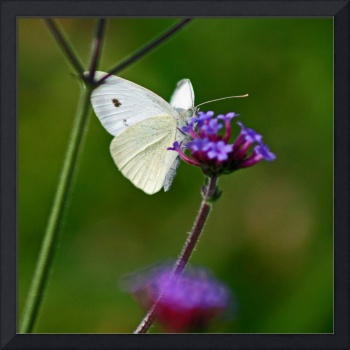 Butterfly  Cabbage White on green