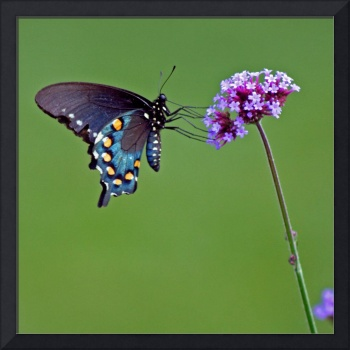 Butterfly Pipevine Swallowtail on Green Square