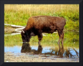Bison Going To Drink