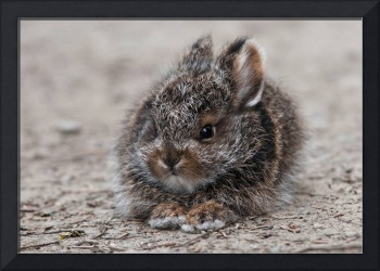 Young Snowshoe Hare Bunny