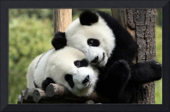 Panda Bears Cuddle Each Other