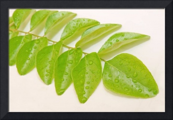 fresh green curry leaves(Bergera koenigii)