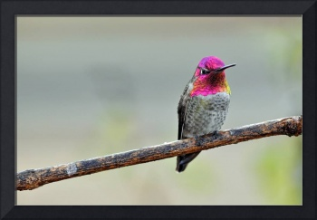 Mature Male Anna's Hummingbird