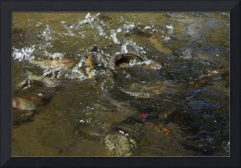 Rainbow Trout Feeding Art Prints Fish Fishing